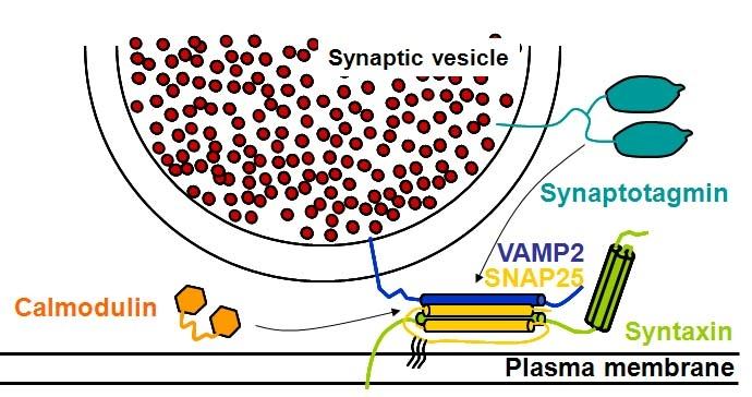 SNARE complexe & Calcium sensors